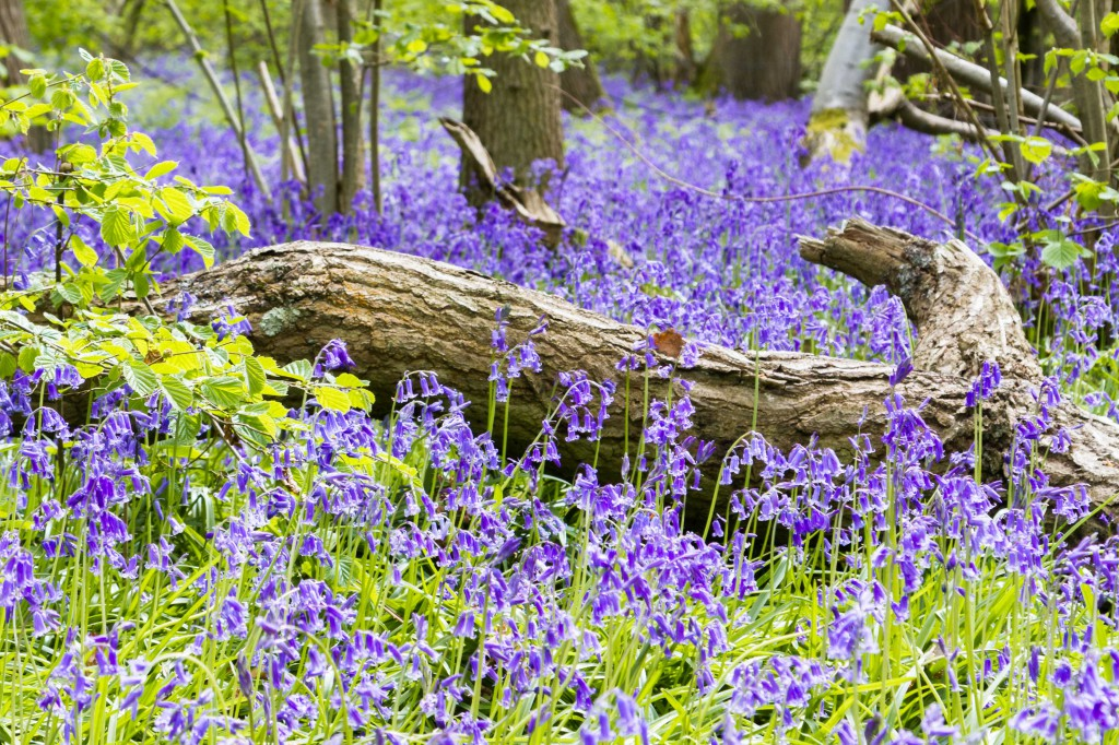 2016 Calendar May - Bluebell Log