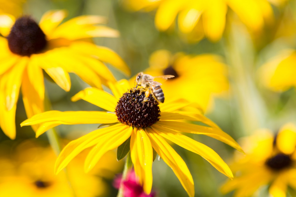 2016 Calendar July - Echinacea Bee